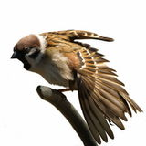 Tree Sparrow stretched wing isolated on white Royalty Free Stock Photography