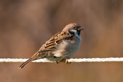Tree Sparrow on a String Stock Photo