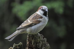 Tree Sparrow on the stub Stock Image