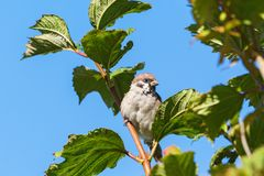 Tree Sparrow in a tree Royalty Free Stock Photography