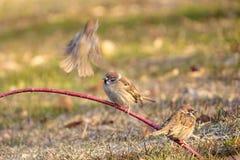 Tree Sparrow Royalty Free Stock Image