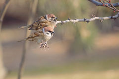 Tree Sparrow. Two Tree Sparrow stand on branch. Scientific name:Passer montanus royalty free stock images
