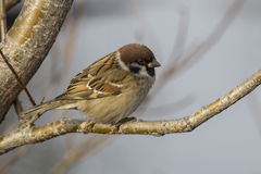 Tree Sparrow who sits in the fork of stone birch autumn Stock Image