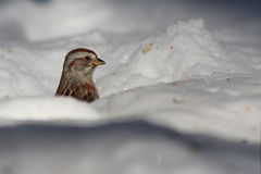 Tree sparrow in winter Stock Photography