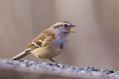 Tree sparrow in winter Stock Photos