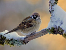 Tree sparrow on a winter branch. Tree Sparrow Passer montanus sitting on a snowy branch on a winter morning royalty free stock photos