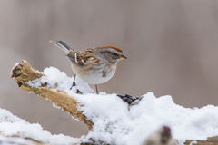 Tree sparrow in winter Stock Image