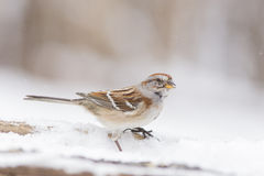 Tree sparrow in winter Stock Image