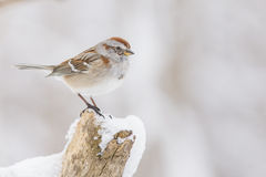 Tree sparrow in winter Stock Photo