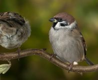 Tree sparrows. Two tree sparrows on a branch Royalty Free Stock Image