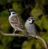 Tree sparrows. Two tree sparrows on a branch Stock Photography