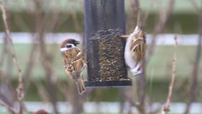 Tree sparrows on a bird feeder stock video footage