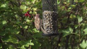 Tree sparrows on a birdfeeder. Video of two tree sparrow birds sitting on a birdfeeder eating peanuts stock video footage