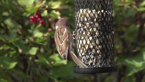 Tree sparrows on a birdfeeder. Video zooming in on two tree sparrow birds sitting on a birdfeeder eating peanuts stock video