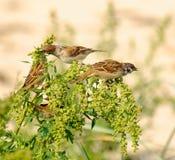 Tree Sparrows Passer montanus. Feeding Stock Photo