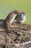 Tree Sparrows (passer montanus) Stock Photo