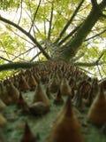 Tree species thorny trunk Choricera Chorisia speciosa. Trunk full of thorns and so obalada from Asia royalty free stock image