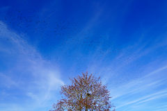 Tree spewing hundreds of birds. Like a volcano its lava Stock Image