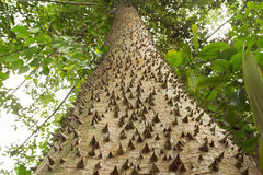 Tree with spikes in forest. Sandbox tree Stock Photography