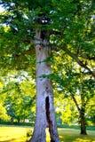 Split trunk tree, photographed near Newark Earthwo. Tree with split trunk, taken near Newark Earthworks Stock Image