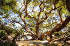 A tree with sprawling branches royalty free stock photos