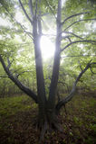 Tree with spreading branches in a green forest Royalty Free Stock Photo