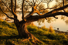 Tree spreading its branches Royalty Free Stock Photo