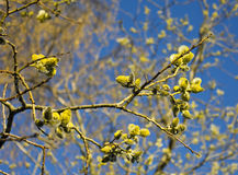 Tree spreading pollen in spring Royalty Free Stock Photos