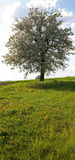 Tree in spring. Meadow and tree Royalty Free Stock Photo