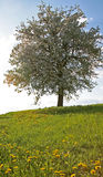 Tree in spring. Meadow and tree Stock Photography