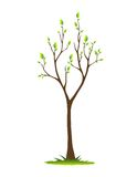 Tree in Spring. A tree with sprouting leaves isolated on white background Stock Image