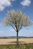 Tree in spring. Blooming tree in spring and a blue sky Royalty Free Stock Photo
