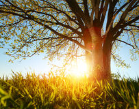 Tree. Spring tree with fresh green leaves on a blooming meadow at sunset Royalty Free Stock Photo