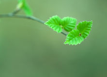 Tree spring leaves Royalty Free Stock Photos