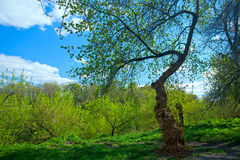 Tree in spring Stock Image
