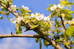 Tree in spring Royalty Free Stock Images