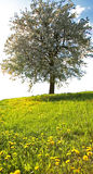 Tree in springtime. Meadow and tree Stock Photo