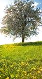 Tree in springtime Stock Photo