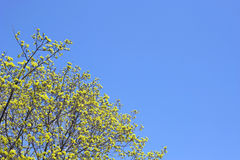 Tree in springtime blossom. Stock Photography
