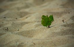 Tree sprout in the sand. Green young tree sprout sprouted in the sand on the beach stock photography