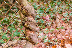 Tree sprouted through grid Royalty Free Stock Image