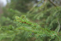 Tree spruce Royalty Free Stock Image