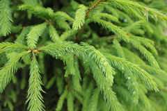 Tree, spruce, plant, nature, green, spruce branch Stock Image