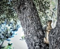 Tree Squirel. Candid Fuzzy Squirel in textured tree Stock Images