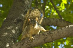 Tree squirrel Royalty Free Stock Photo