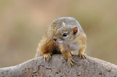Tree squirrel Stock Image