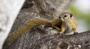 Free Tree Squirrel Royalty Free Stock Photography - 1458437