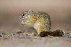 Tree squirrel Stock Photos