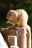 Tree Squirrel Stock Photo