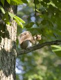Tree squirrel. Squirrel that's on a summertime tree branch stock photo